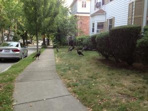 Wild turkeys, Brookline, MA
